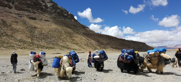 Yaks Ready to move Darchen