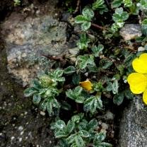 himalayan-flower-10