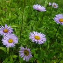 himalayan-flower-1