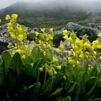 himalayan-flower-14