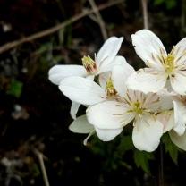 himalayan-flower-15