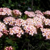 himalayan-flower-16