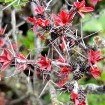 himalayan-flower-17