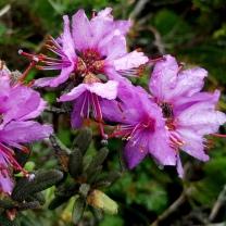 himalayan-flower-18