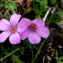 himalayan-flower-21