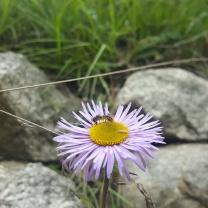 himalayan-flower-23