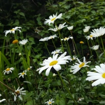 himalayan-flower-26
