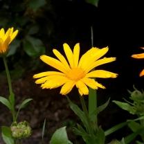 himalayan-flower-8