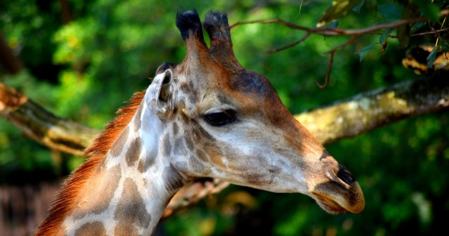 khao-kheow-open-safari-park-giraffe-large