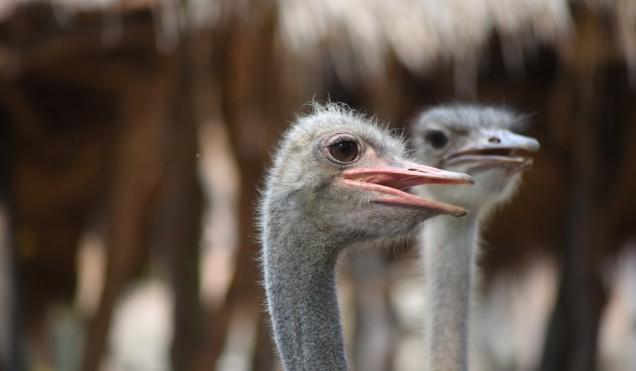 khao-kheow-open-safari-park-osrich-large