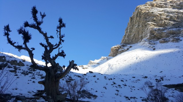 Chadar-Trek-Zanskar-Ghost-Tree