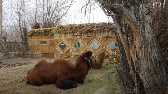 29-Leh-Ladakh-Nubra-Valley-Home-Stay-double-Hump-Camel