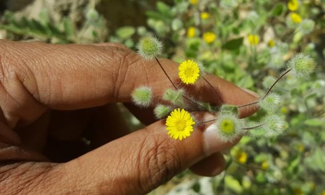 04-Wadi-Shah-Starting-Desert-Flower