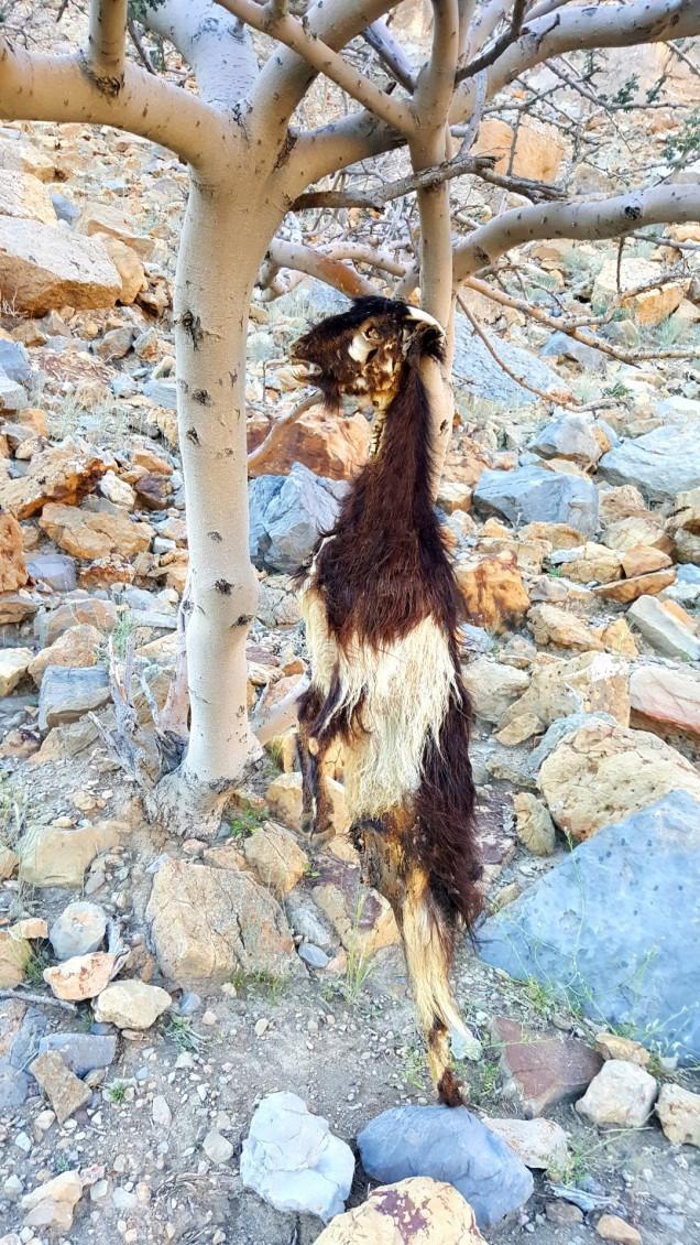 21-Wadi-Shah-Trail-Goat-Danger